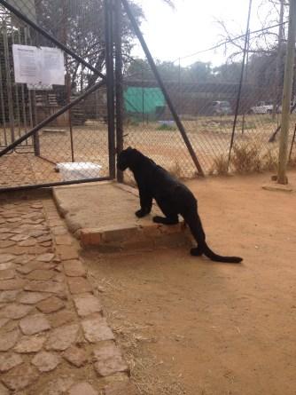 Black leopard are my favorite animal.