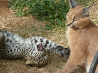 Baby leopards and caracals are playmates until a certain point when the leopard becomes stronger and can hurt the caracal by only meaning to play.