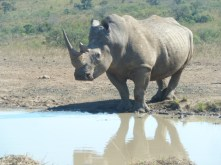 White rhinos are what's up, though. We saw quite a few of them. This one was about 10-15 meters from the car