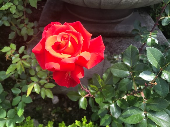 A rose photo by Jody Watley