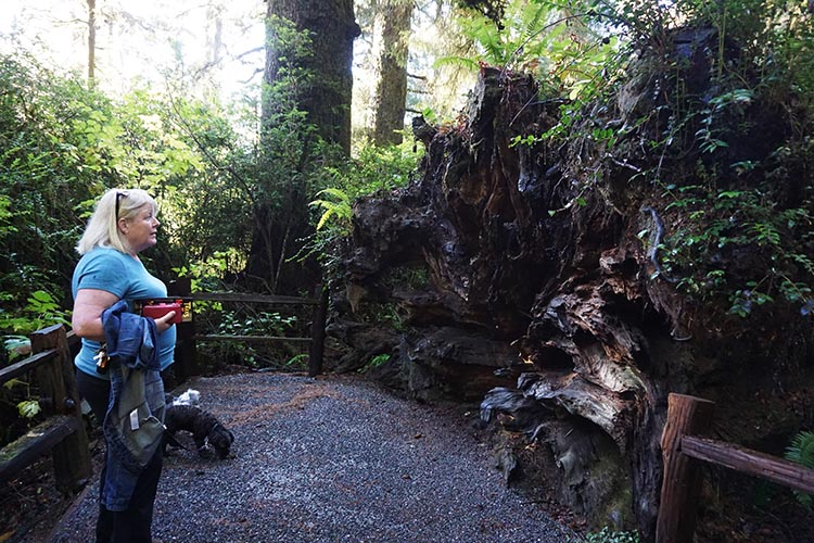 RV Camping Under the Giant Redwoods of Northern California. This tree root is bigger than Maggie!