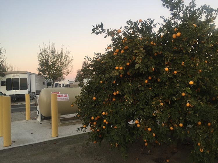 Review of A Country RV Park, Bakersfield, California. Orange tree in the parking area along one wall of A Country RV Park in Bakersfield, California