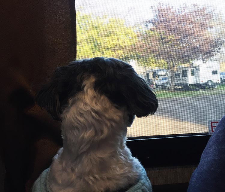 Review of Merced River RV Resort, Delhi, California. Ripley studying the view from our RV window at Merced River RV Resort