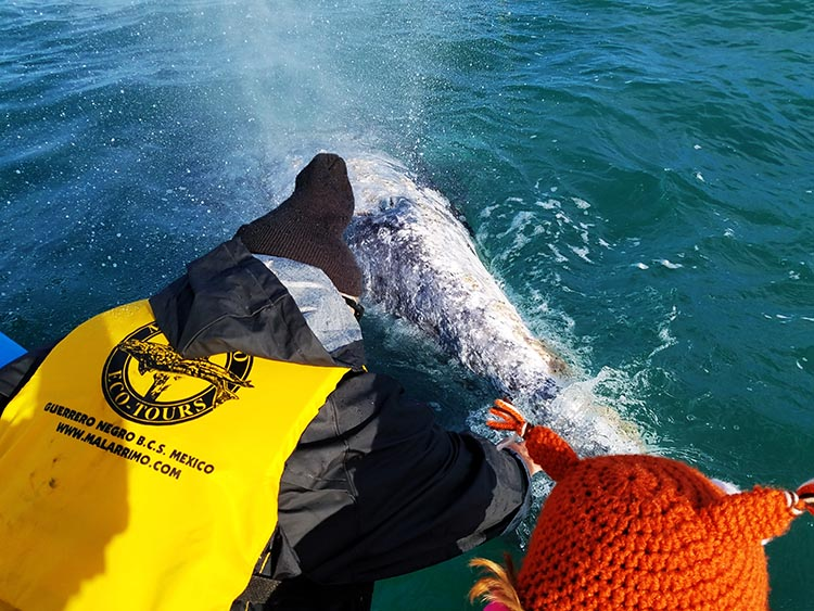Leaning over to touch a whale - Photo by Juli Cooley