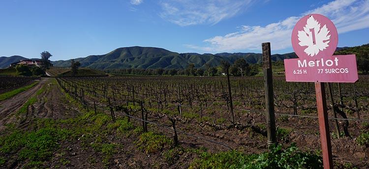 The vineyards at Santo Tomas