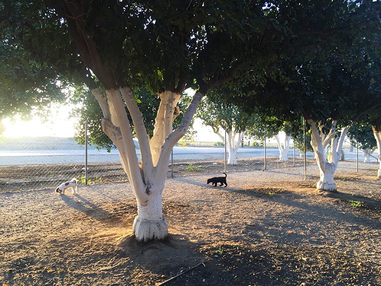 Here are the dogs enjoying the very pleasant, large dog park at Orange Grove RV Resort. For some reason, all of the tree trunks are stained white. It looks very pretty