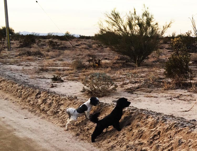 We had to keep the dogs out of the desert sun when they had their hair cut too short. Once it grew out, they were back to bunny hunting!
