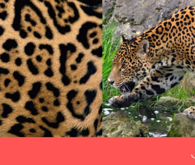 Lets Make Things Clear Leopard Prints Vs Cheetah Prints Joeandcheryl