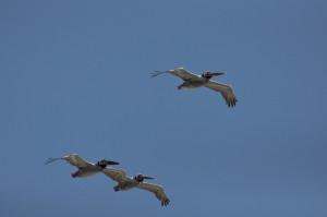 Walks - 3 Pelicans in flight