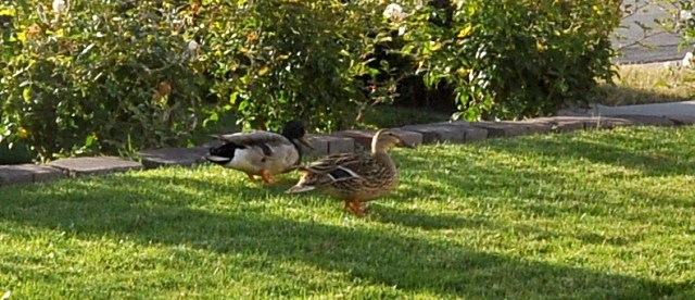 Monday Morning Ducks 1