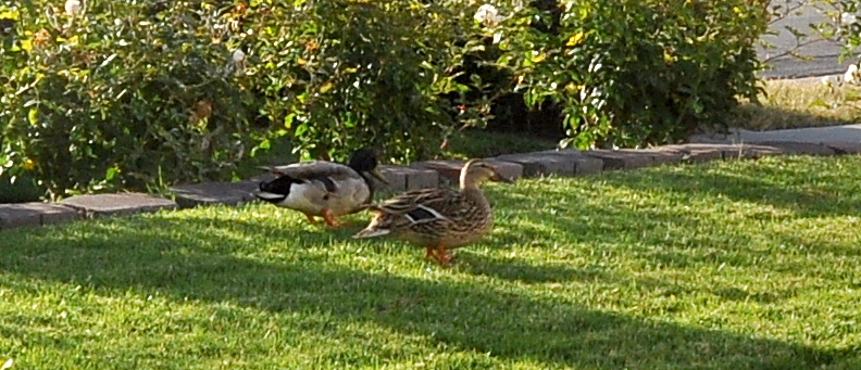 Monday Morning Ducks 1