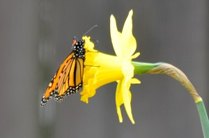 Butterfly and Daffodil