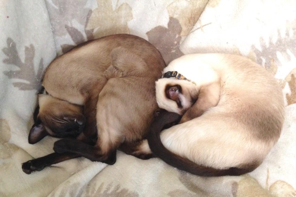 Yin, Yin -- Yang, Yang (Siamese cats)