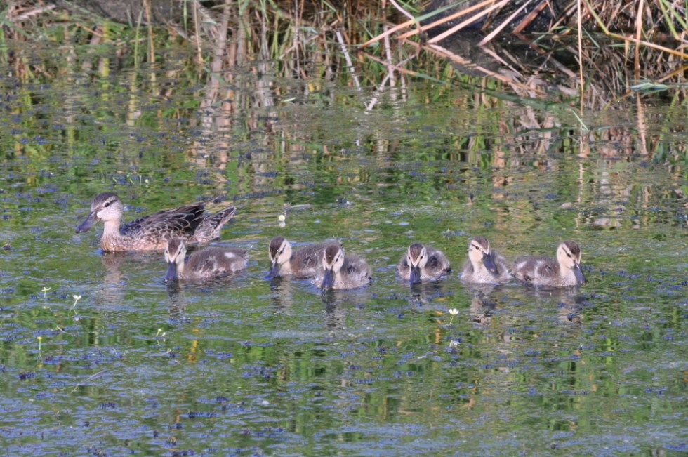 Minnesota Ducks -- All in a Row
