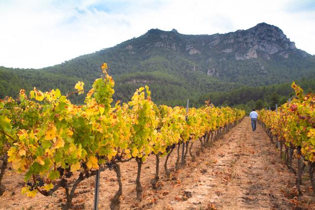 The vines of Priorat