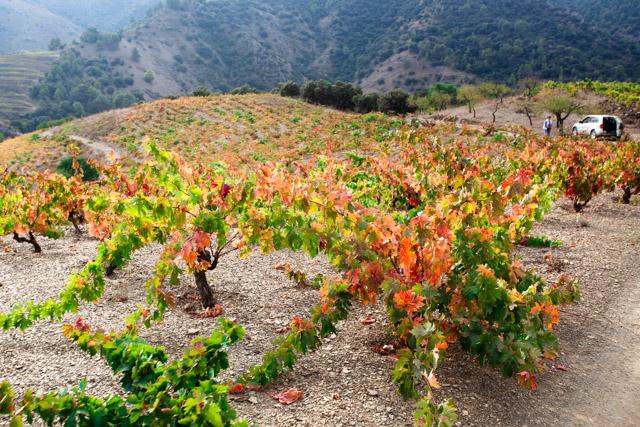 Garnacha old vines in the Priorat