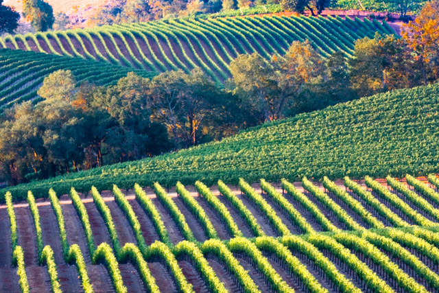 Russian River Valley Vineyard