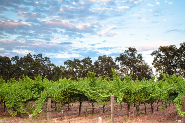 Vineyard in St. Helena
