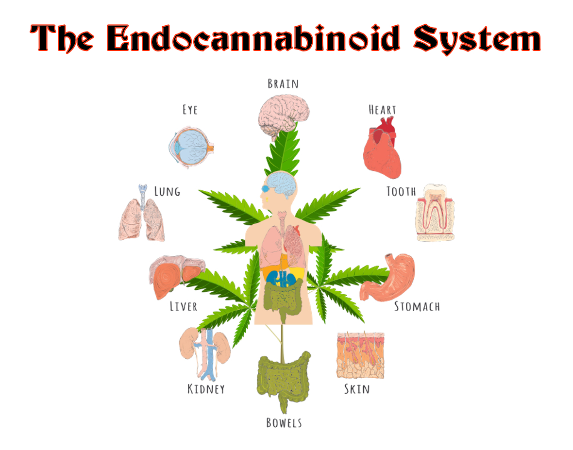 The Endocannabinoid System, CBD Hemp Oil, & The End Of Suffering