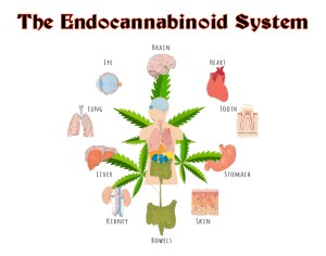 The Endocannabinoid System hemp cbd oil colorado