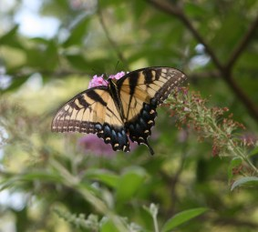 One-Tail-Swallowtail