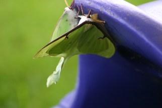 A8-Luna Moths