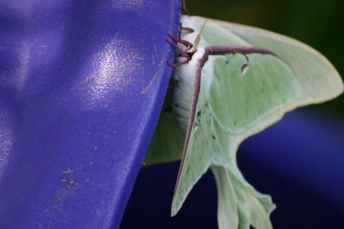 B1-Luna Moths