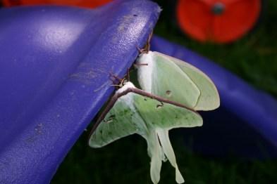 B6-Luna Moths