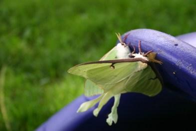 B7-Luna Moths