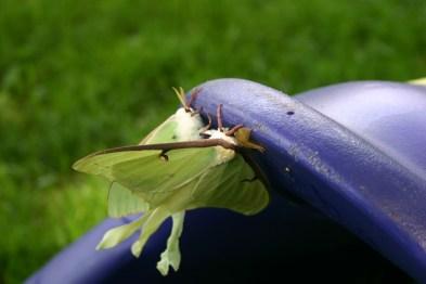 B8-Luna Moths