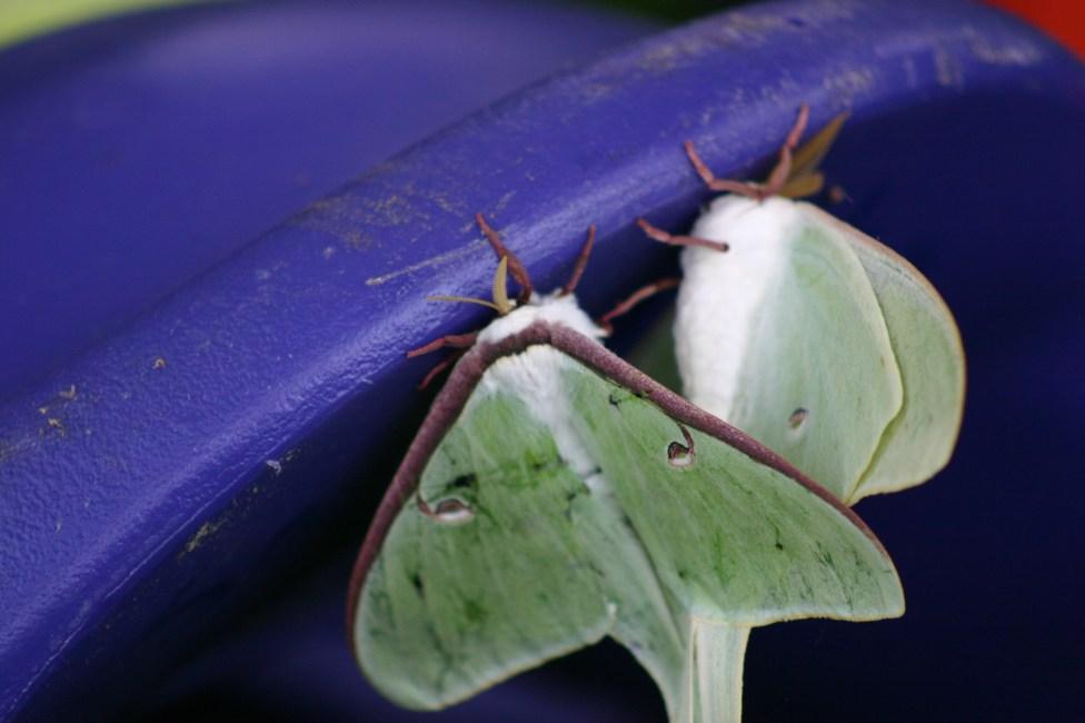B9-Luna Moths