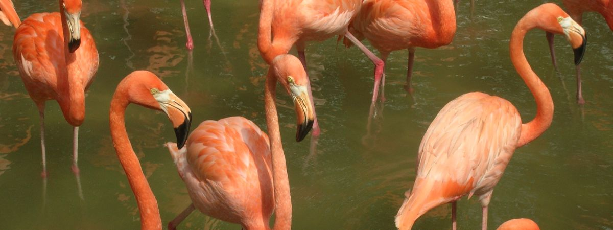 Flamingos_in_the_Dominican_Republic