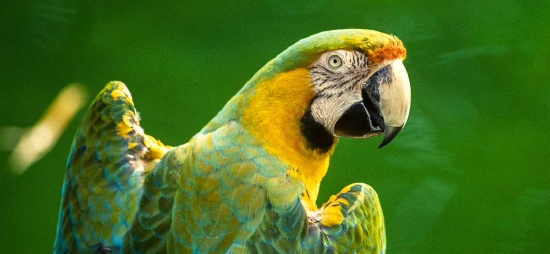 Colorful_Parrot