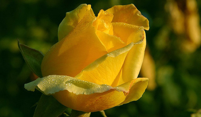 rózsa meditáció