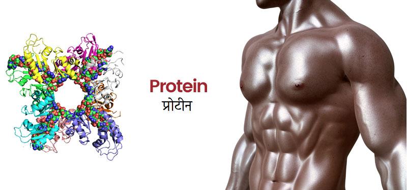 प्रोटीन क्या हैं और मांसपेशियों के निर्माण में इसकी  क्या भूमिका हैं ?