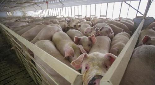 peternakan babi 4