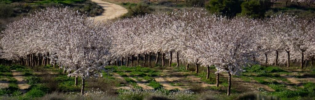 Amandiers en fleurs proche de Caspe