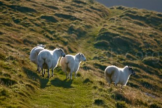 Sheep on Dunmore Head