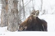 Lying Cow Moose