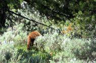 En ung svartbjörn i Grand Teton National Park.