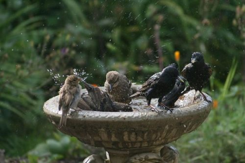 birds-bird-bath