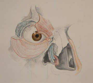 anatomical illustration 5