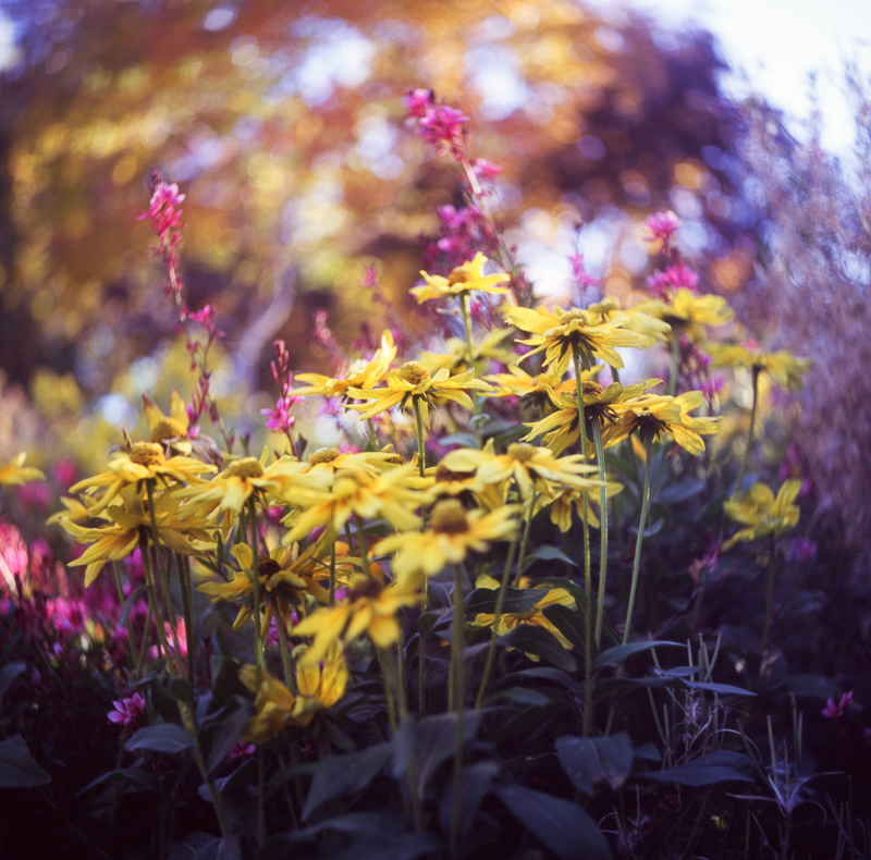Yashica D TLR film photo of flowers