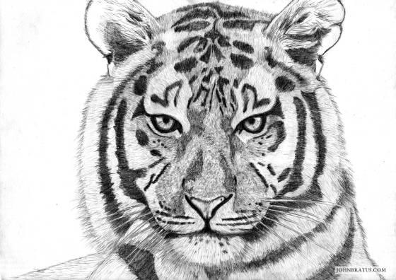 Pencil drawing of a tiger's head