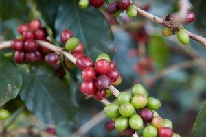 Brazil Coffee Beans | John Burton NZ