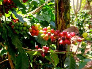 Green-and-red-coffee-beans-John-Burton-NZ