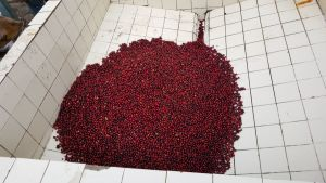 Guatemala Coffee Drying Beds - John Burton Ltd NZ