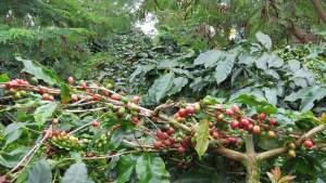 Indonesia Coffee Crop - John Burton Ltd NZ