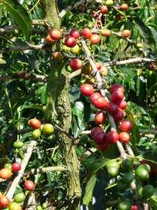 PNG Coffee Trees - John Burton Ltd NZ