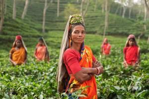 People in Tea Fields India - John Burton Ltd NZ